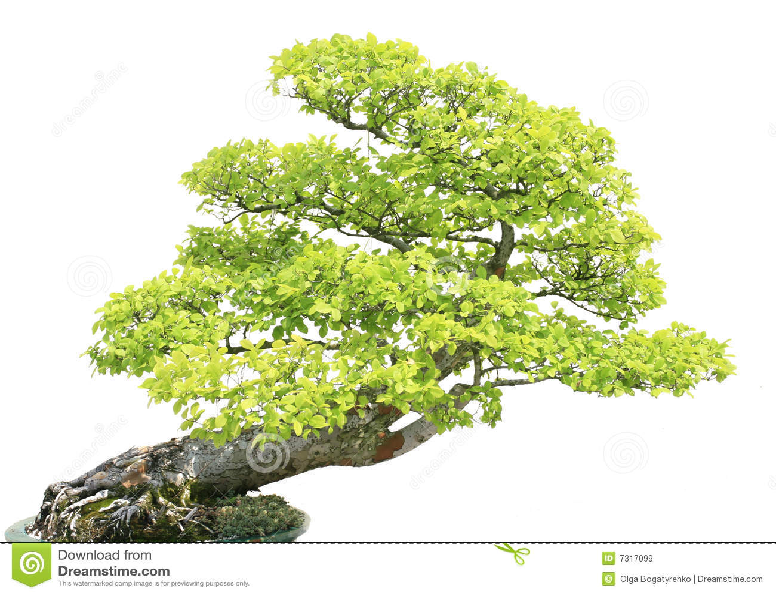 Albero di Cypress isiolated sopra bianco