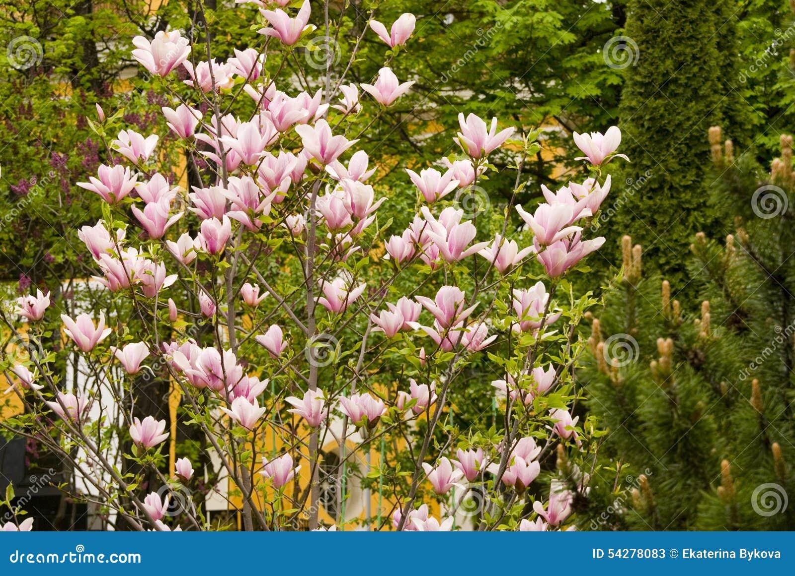 Albero di fioritura della magnolia