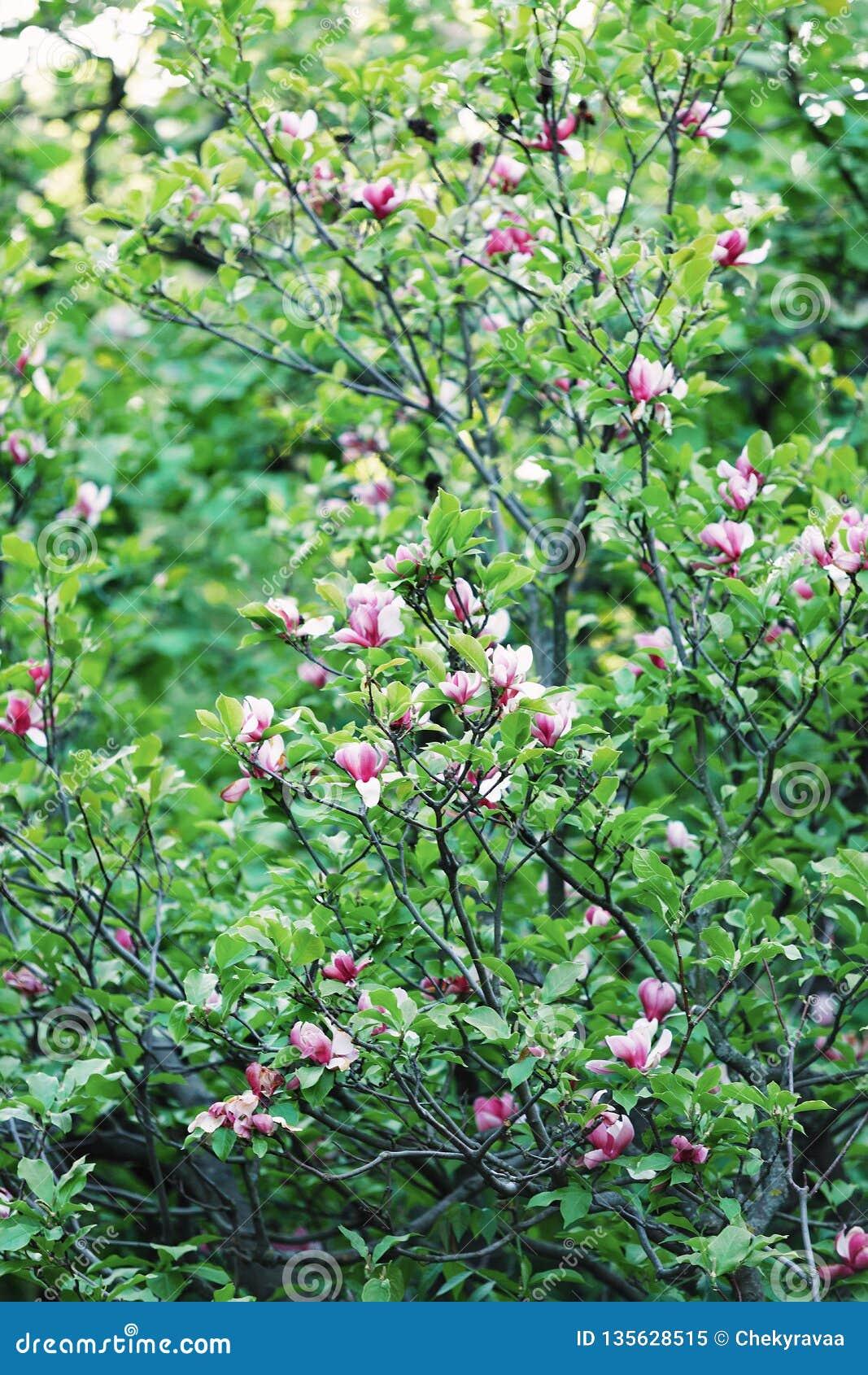 Albero Di Fioritura Della Magnolia Fiore Cinese Della Magnolia Con I