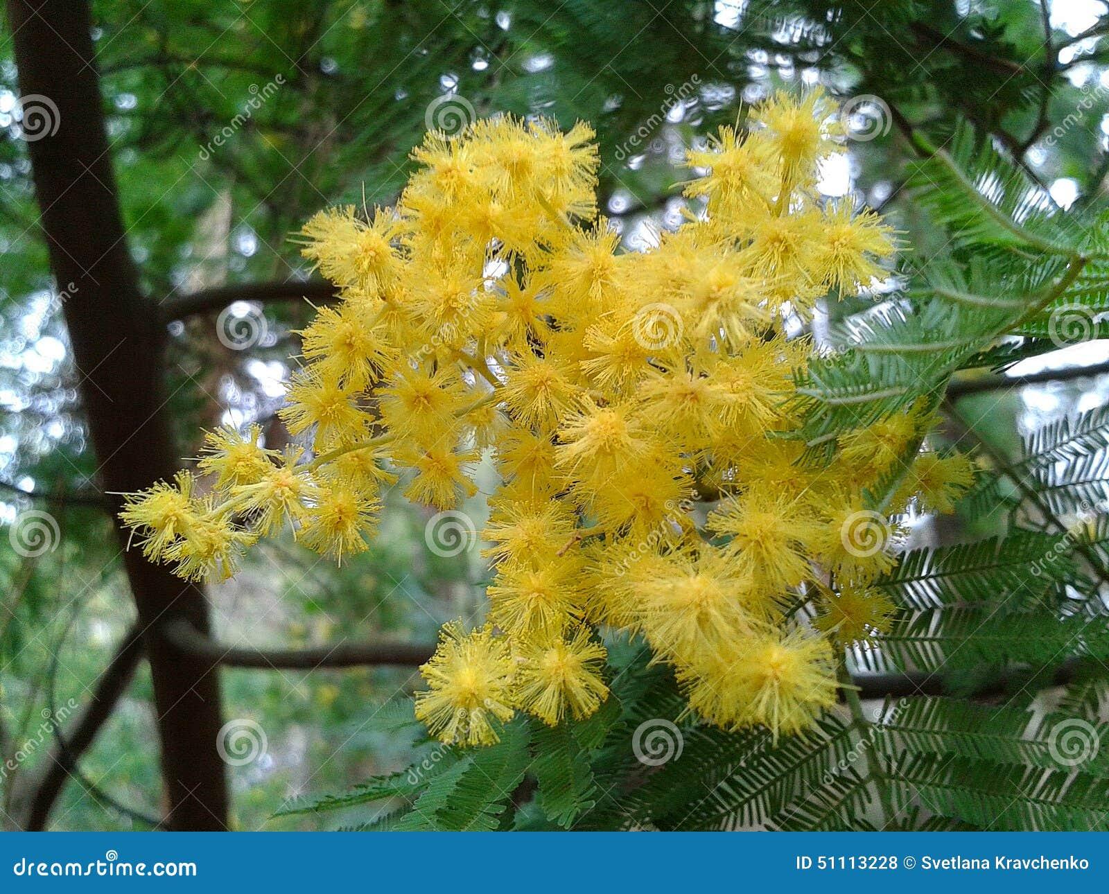 Albero di fioritura della mimosa acacia dealbata for Acacia albero