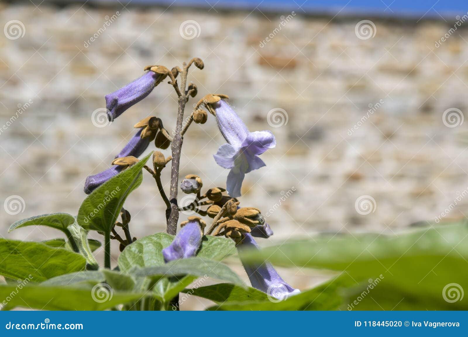 Albero di fioritura ornamentale di paulownia tomentosa, rami con le foglie verdi, semi e fiori di campana viola