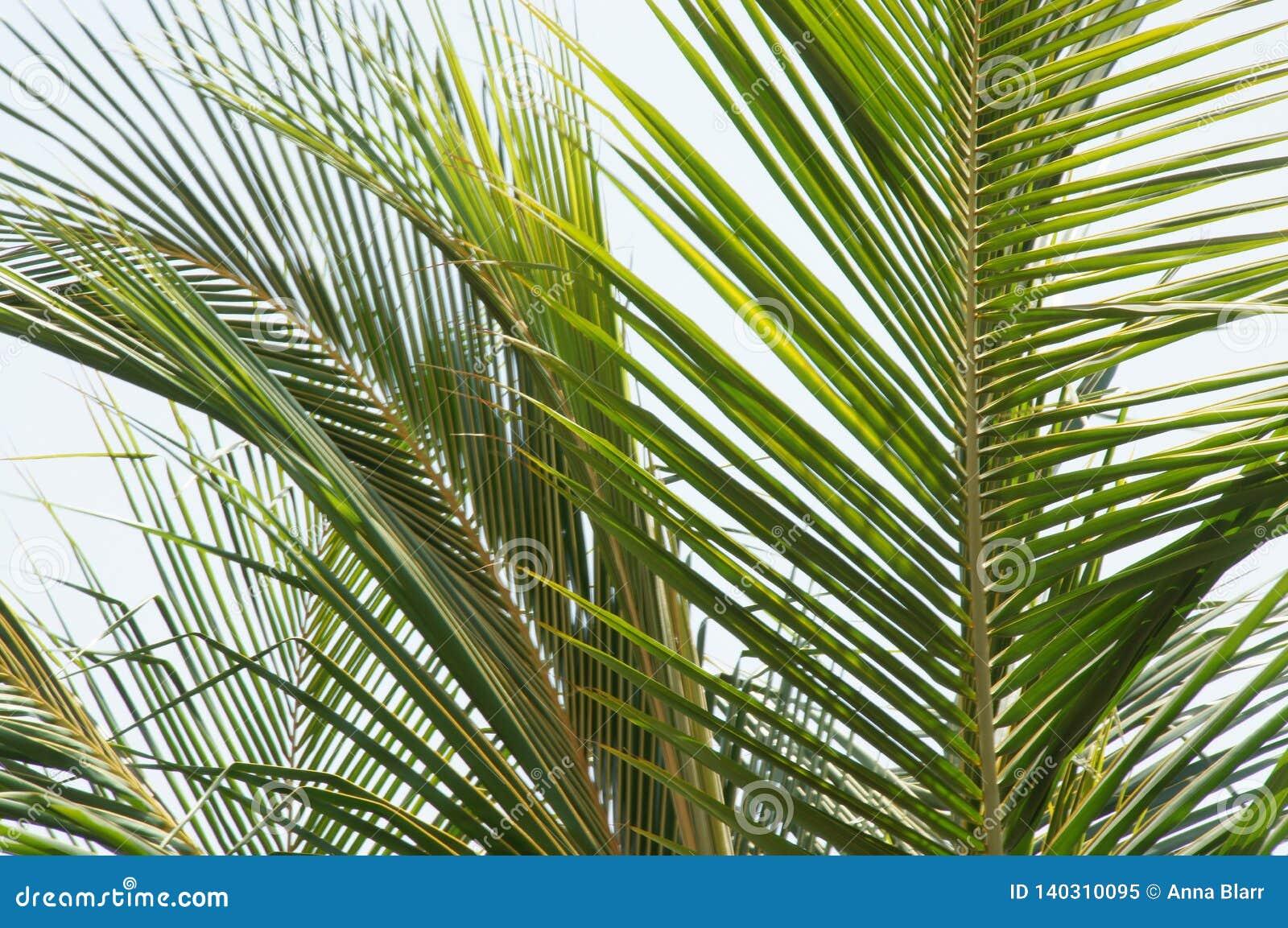 Albero di foglia di palma
