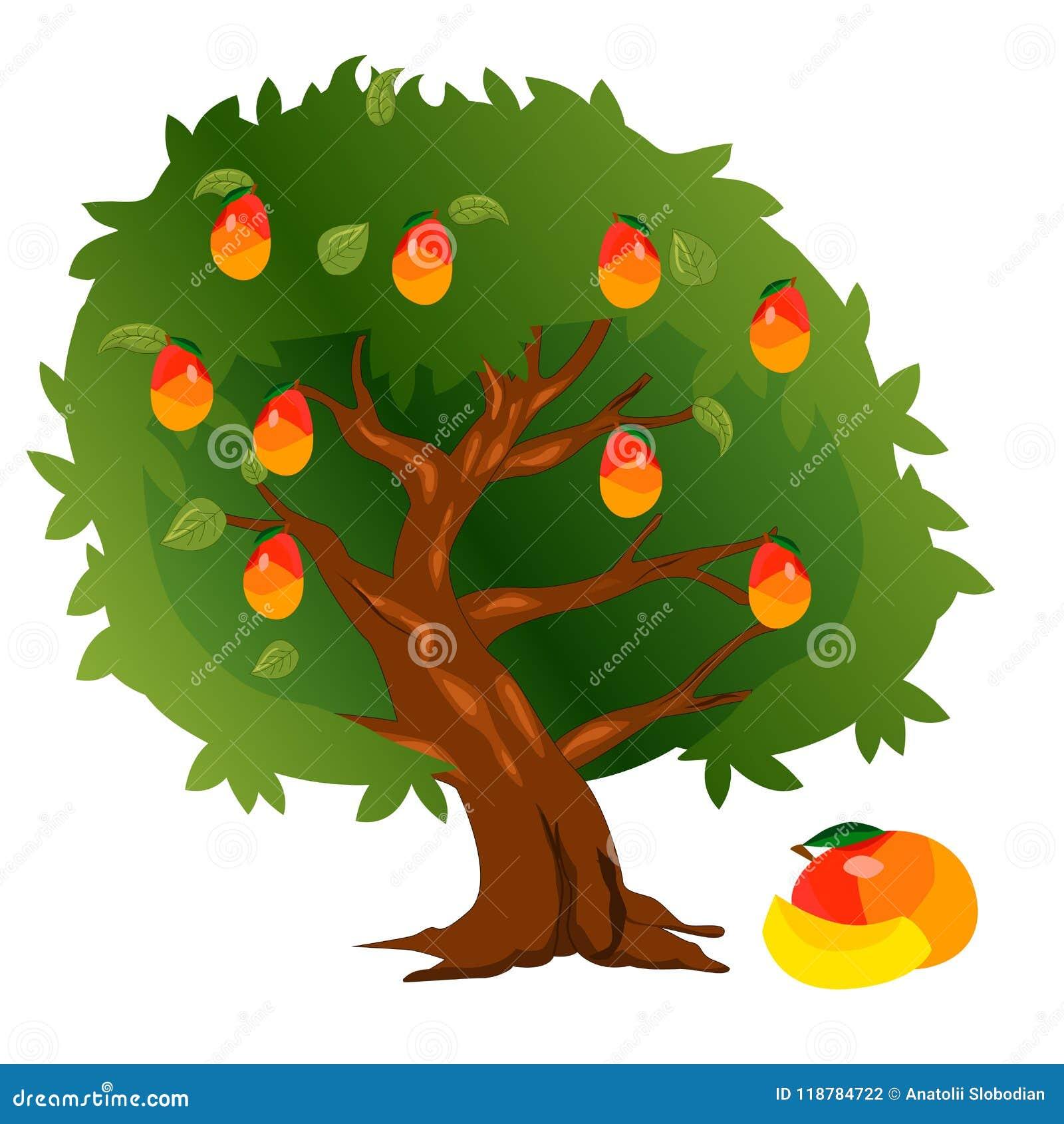 Albero di mango con i frutti e le foglie verdi