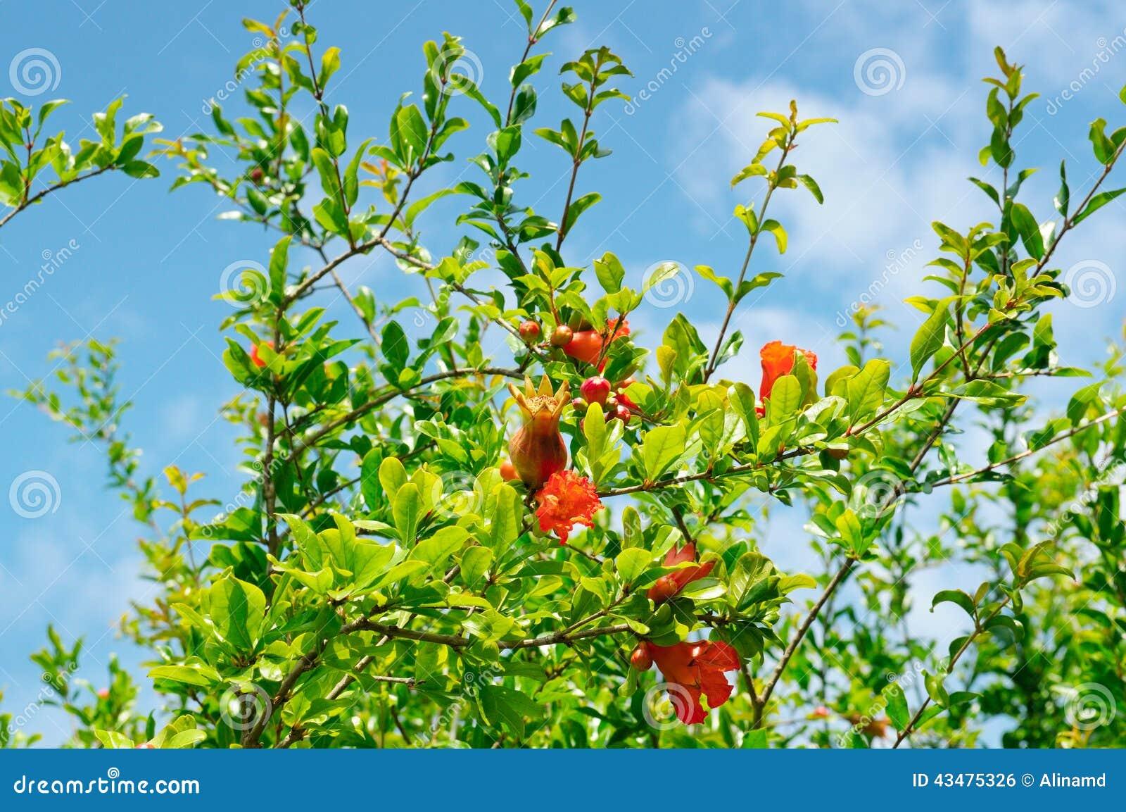Albero di melograno con i fiori fotografia stock for Albero con fiori blu