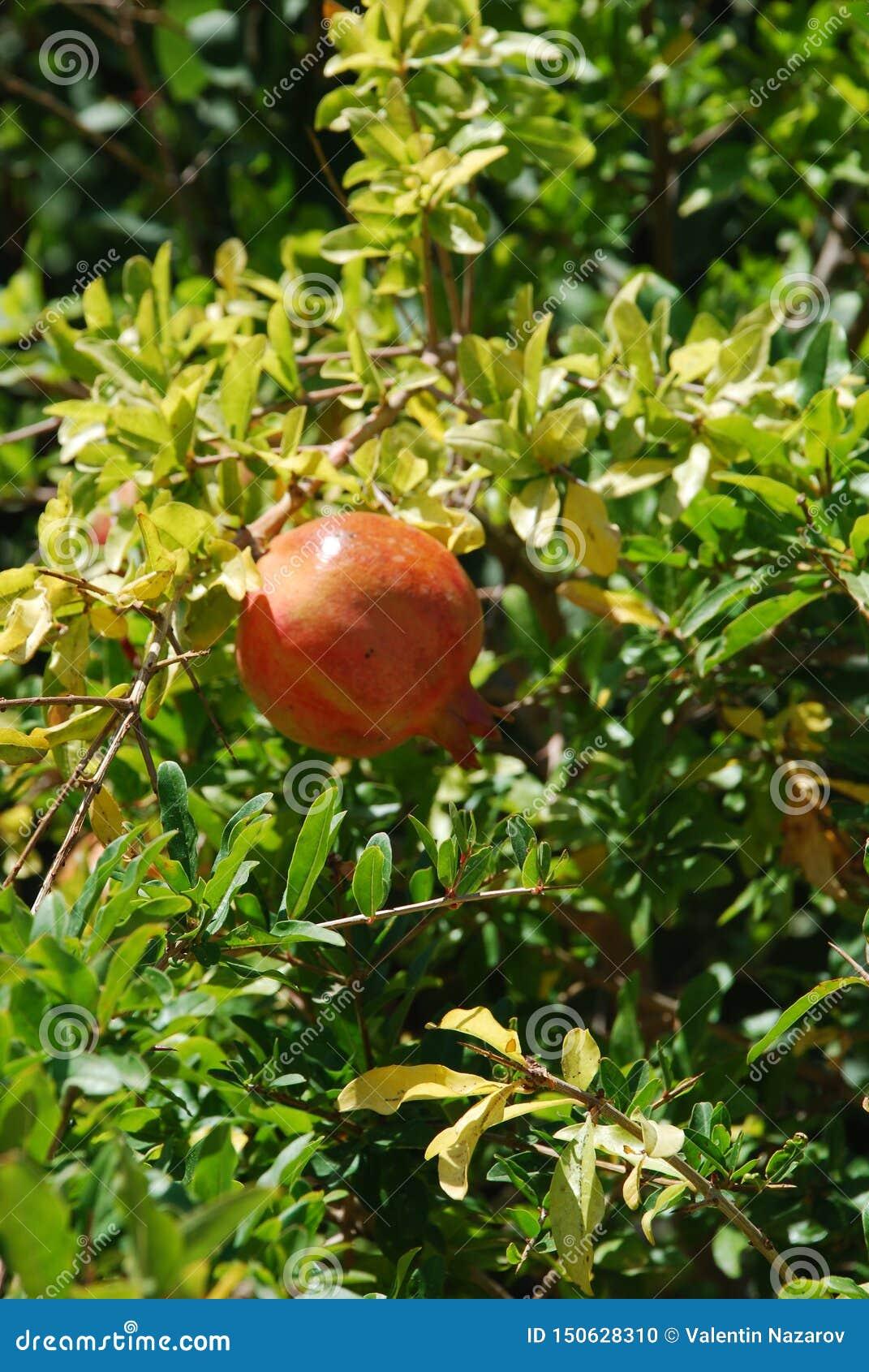 Albero di melograno e crescita di frutti enorme del melograno sotto il sole ed il cielo blu scottanti
