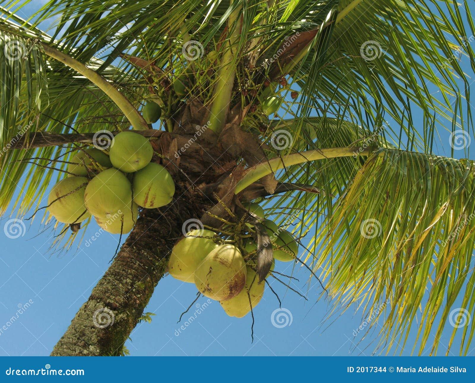 Albero di noce di cocco 1 immagini stock immagine 2017344 for Pianta di cocco