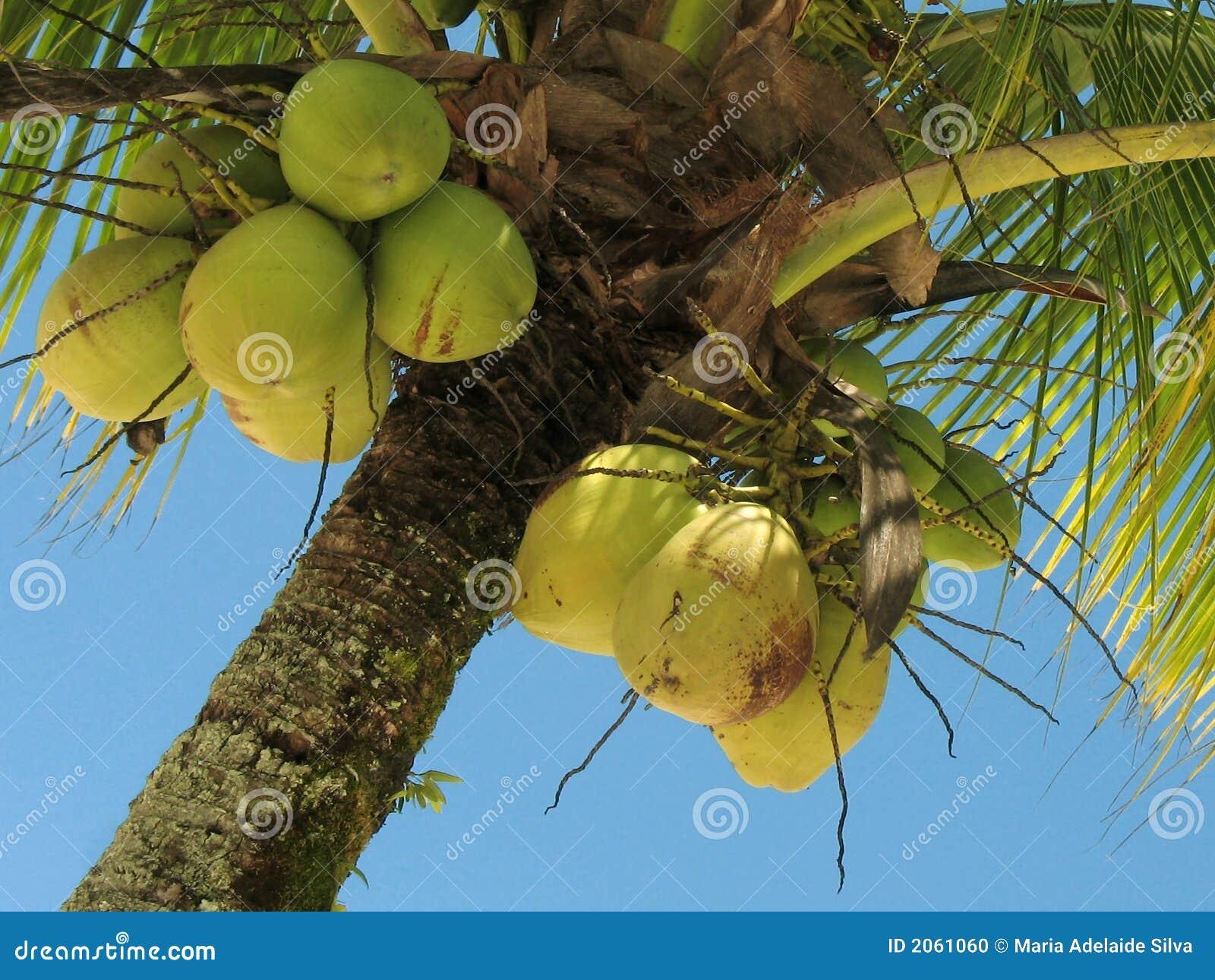 Albero di noce di cocco 2 fotografia stock immagine for Pianta di cocco