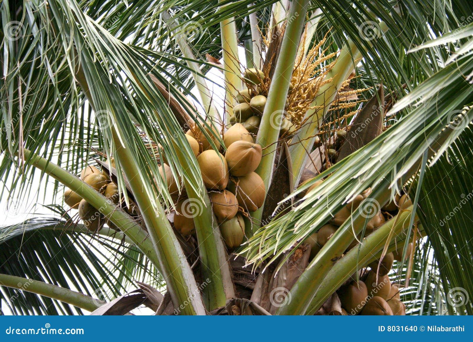 Albero di noce di cocco fotografia stock immagine 8031640 for Pianta di cocco