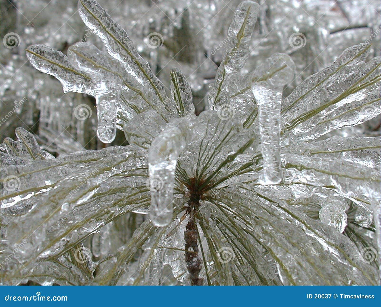 Albero di pino congelato 2
