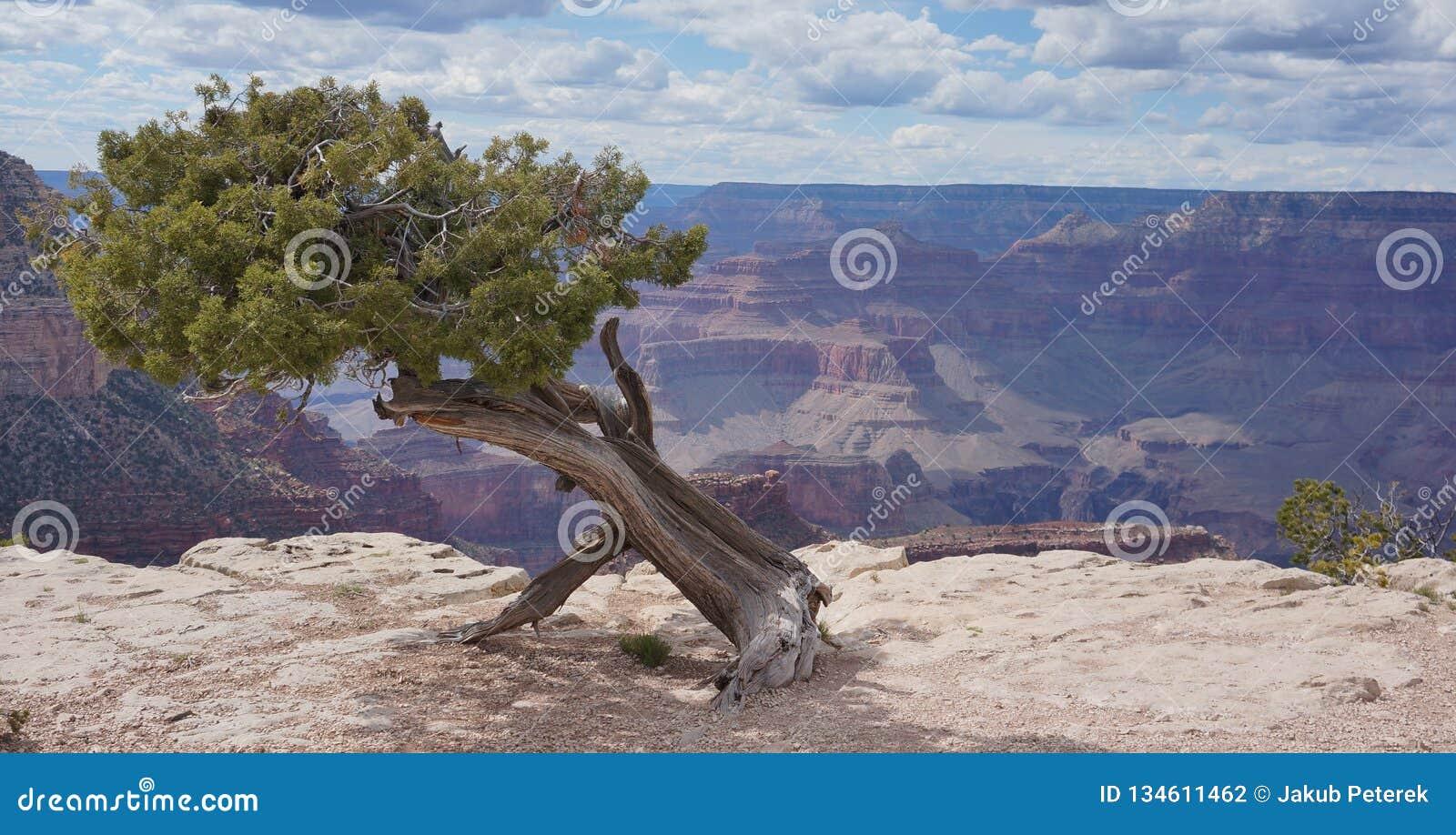 Albero di pino del grande canyon