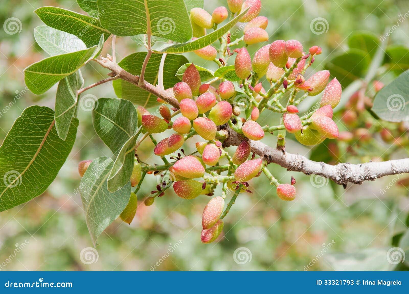Albero di pistacchio
