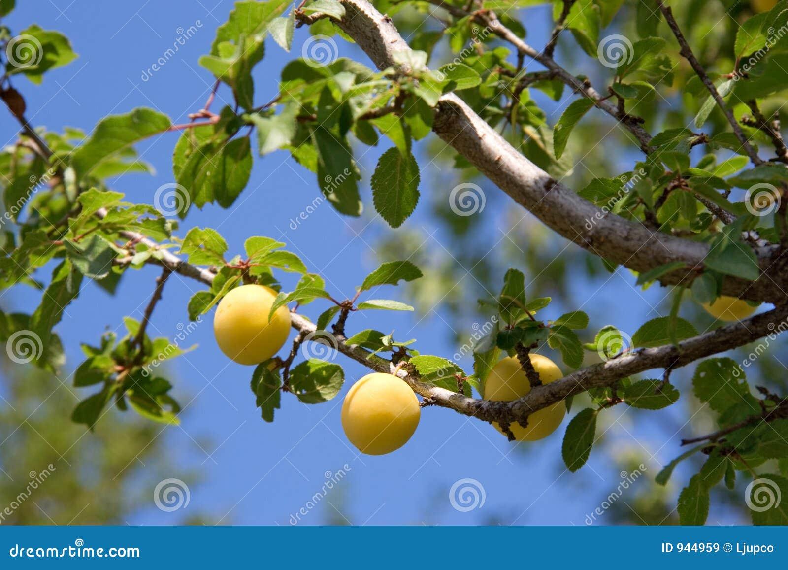 Immagini stock libere da diritti: albero di prugna giallo