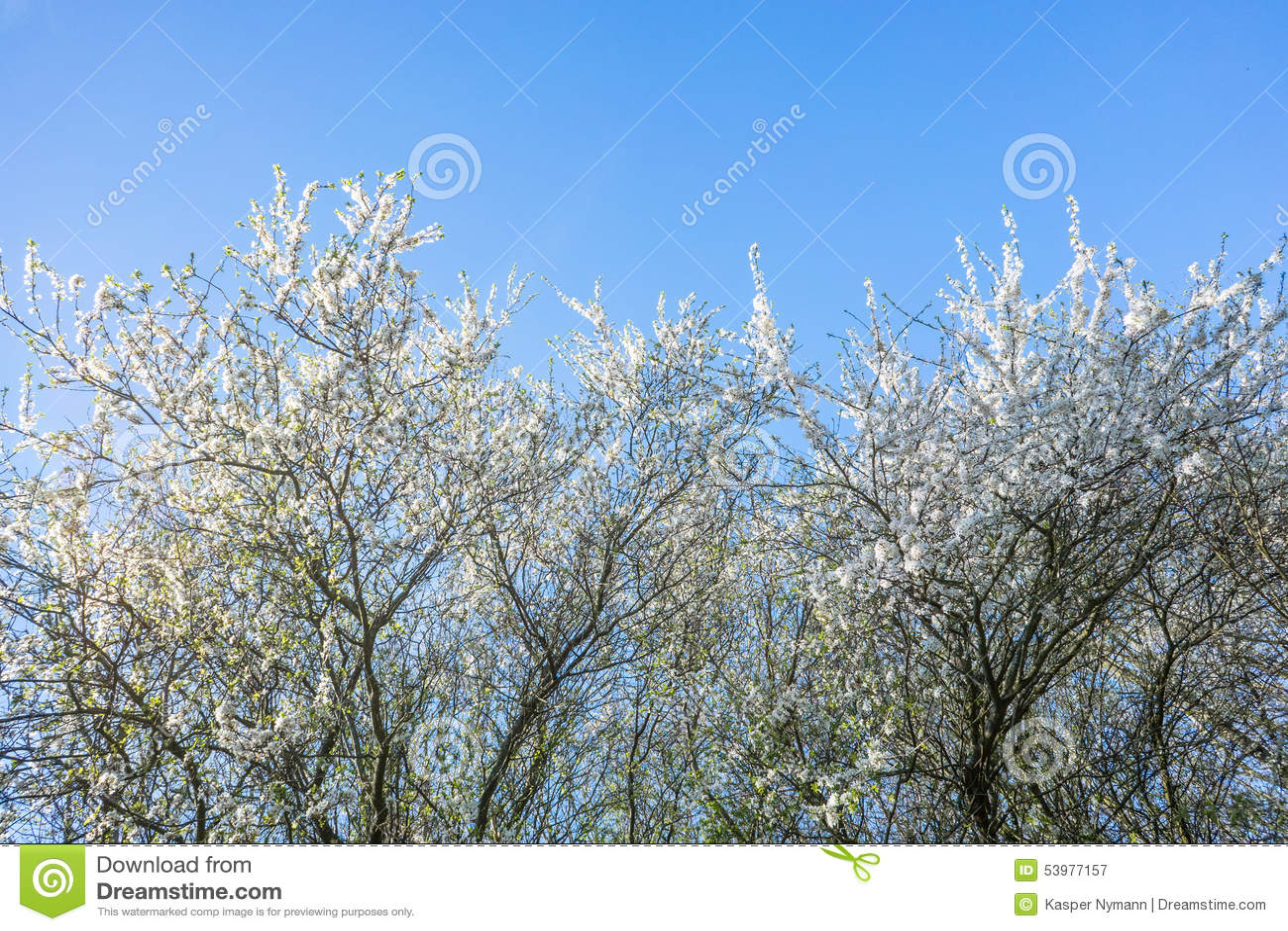 Albero di prunus cerasifera in primavera
