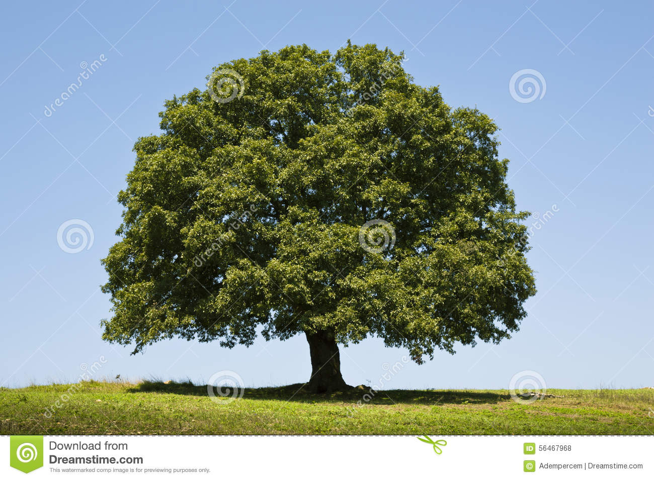 Guide to Common Oak Trees of North America  ThoughtCo