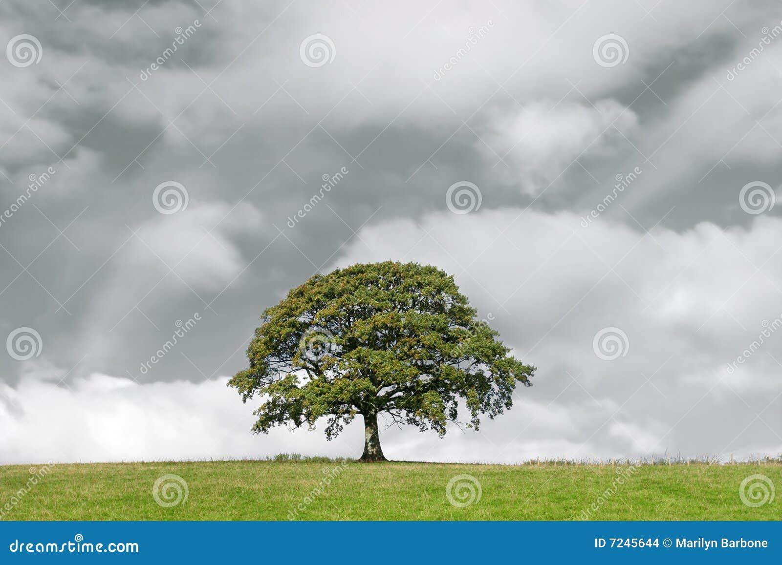 Albero di quercia e nubi di tempesta