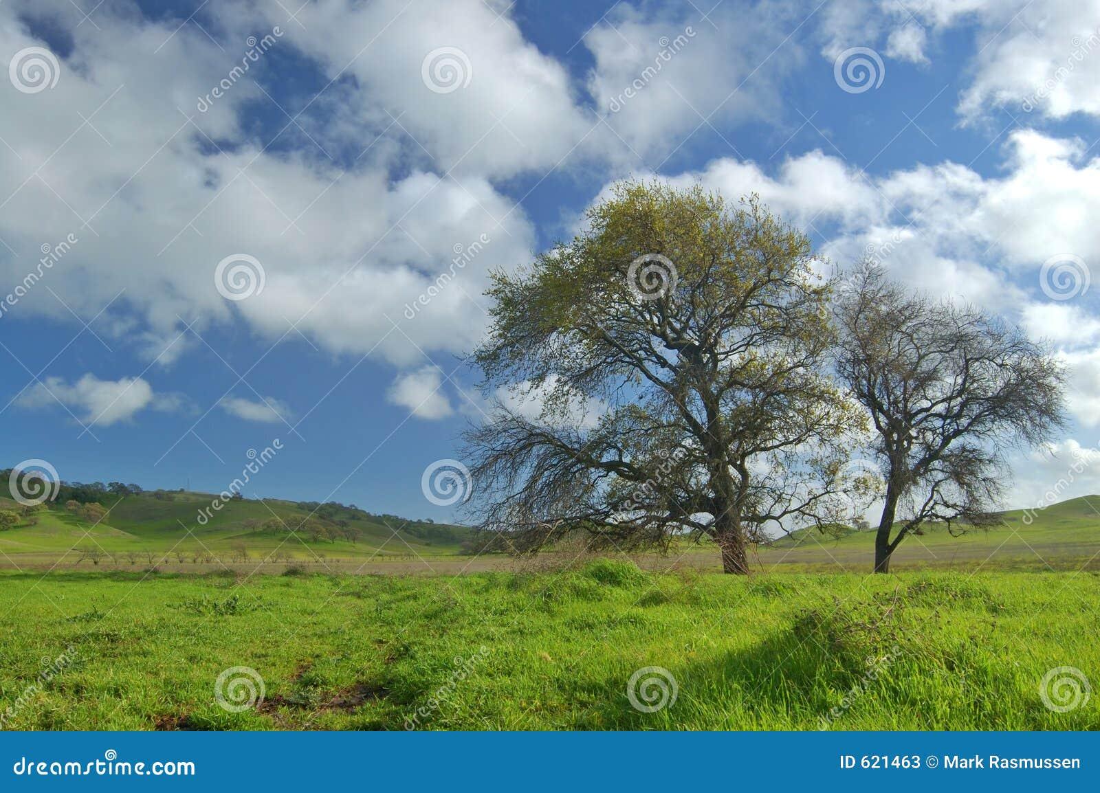 Albero di quercia in primavera