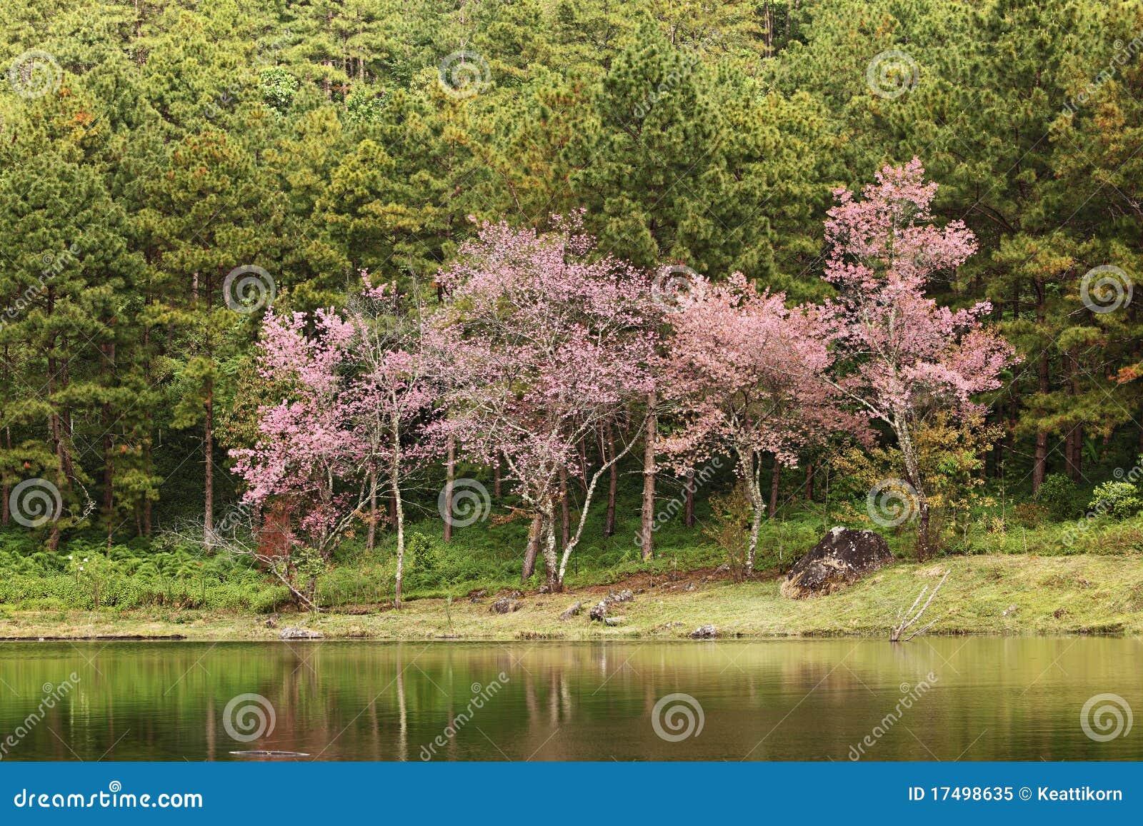albero di sakura immagine stock immagine di calma flora On sakura albero