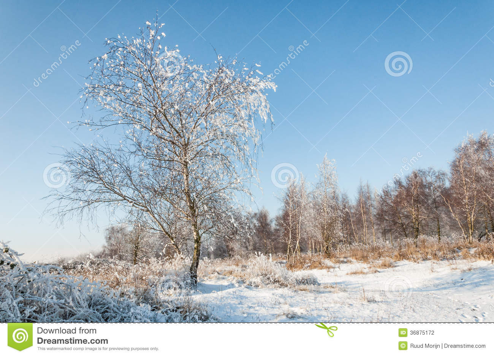 Download Albero Di Snowy Su Un'area Eliminata Nella Foresta Fotografia Stock - Immagine di background, esterno: 36875172