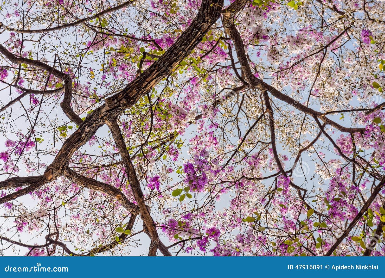 Albero di speciosa di lagerstroemia con i fiori rosa for Albero con fiori blu