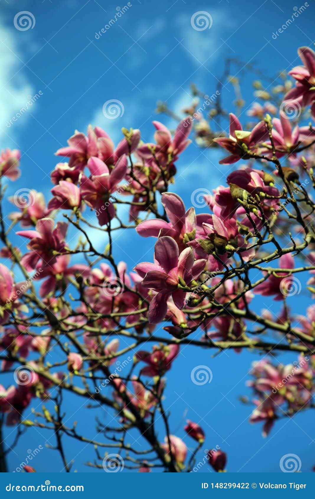Albero e cielo blu della magnolia