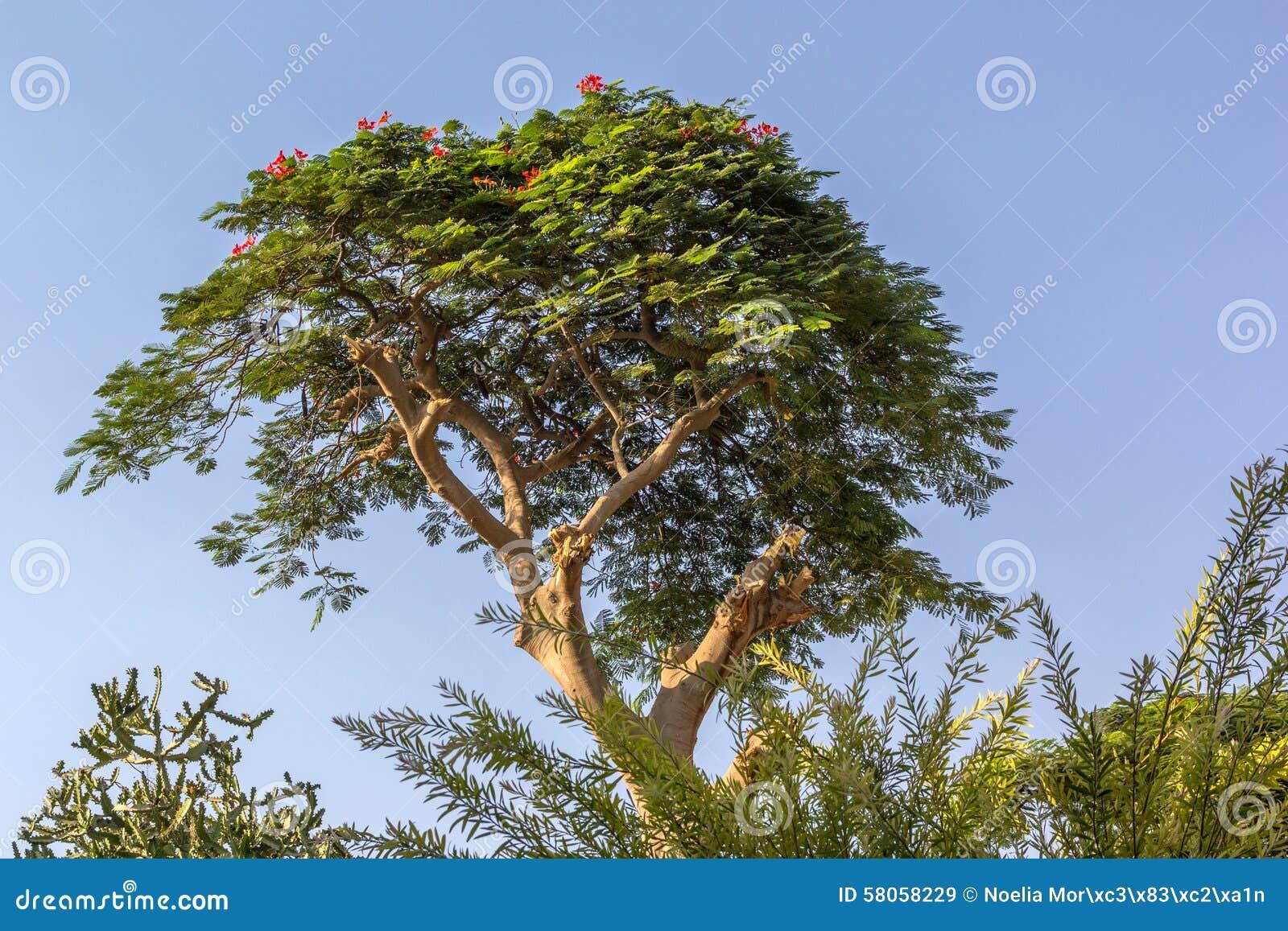 Albero egiziano con i fiori rossi immagine stock for Albero con fiori blu