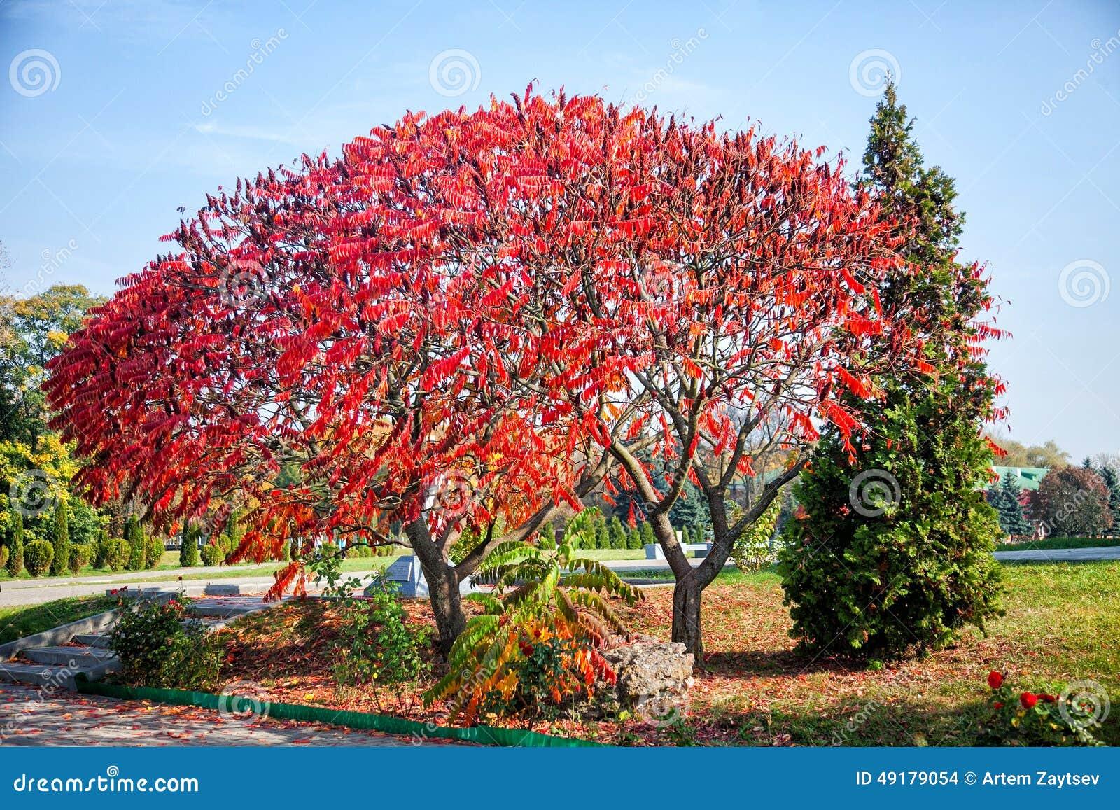 albero enorme con le foglie rosse alberi di autunno