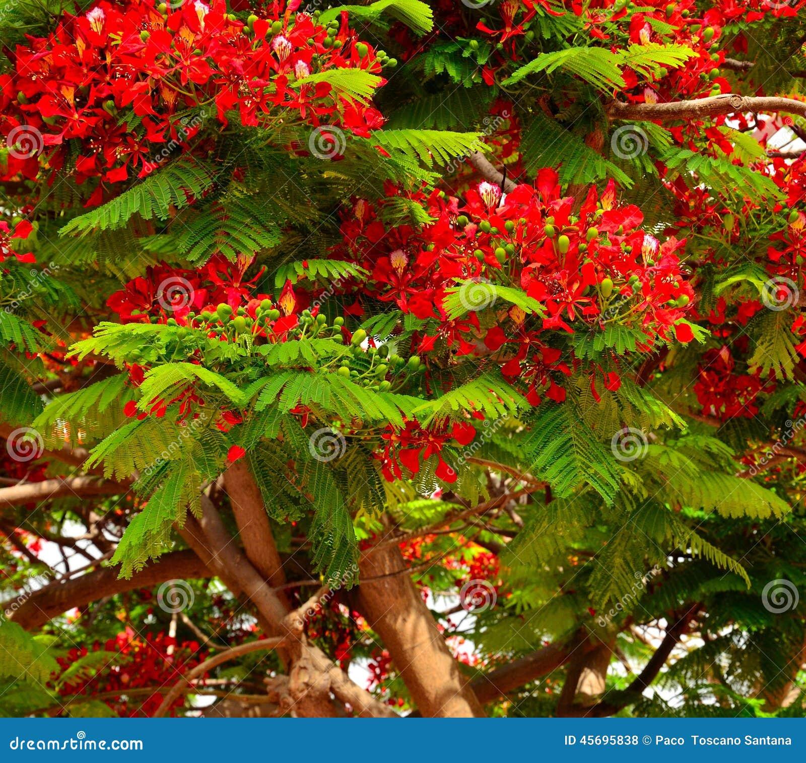 Albero flamboyan frondoso con i fiori ed i germogli verdi for Albero con fiori blu