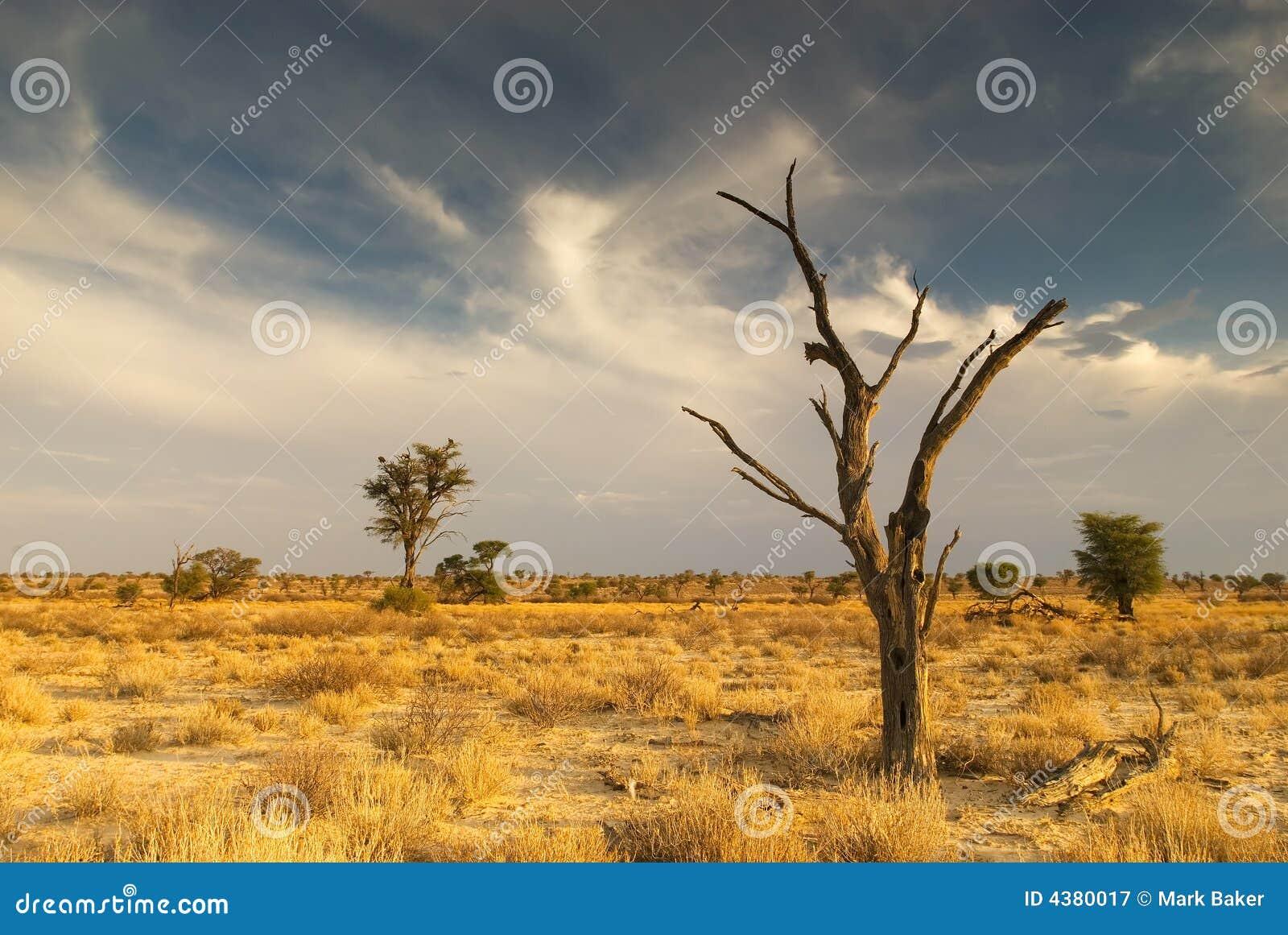 Albero guasto nel deserto di Kalahari