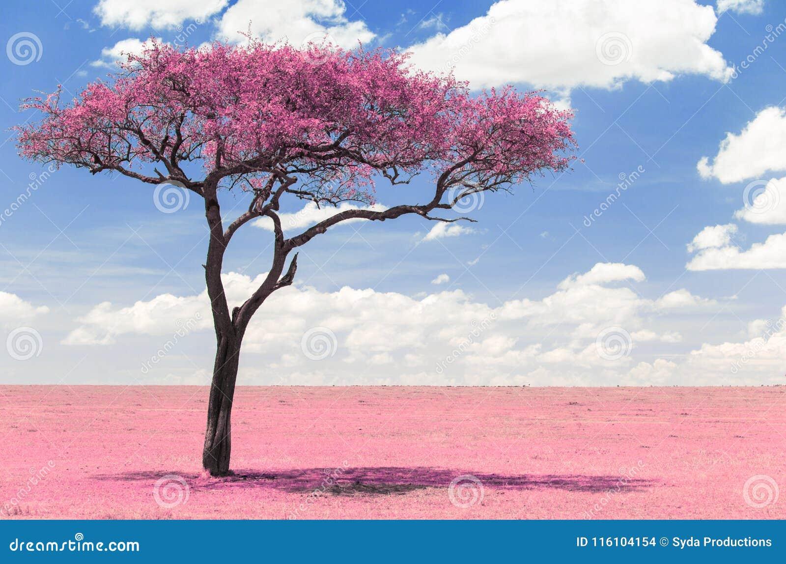 Albero rosa dell acacia in savanna con effetto infrarosso