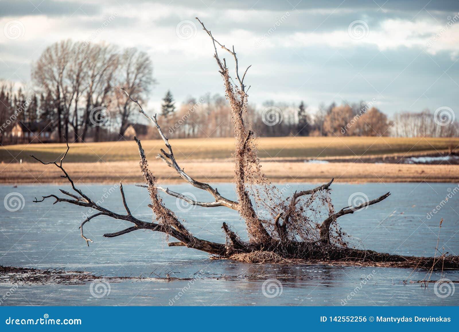 Albero rotto che galleggia nel fiume sommerso primavera