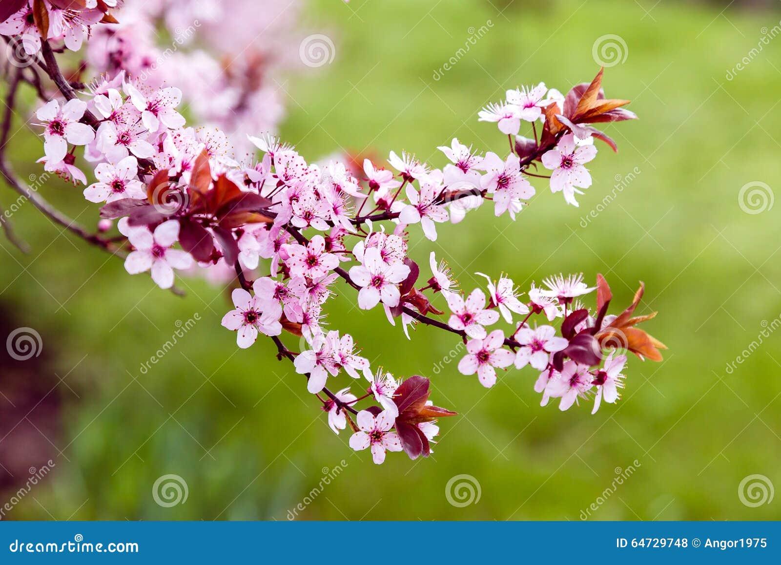 Albero sbocciante rosa della magnolia, per fondo