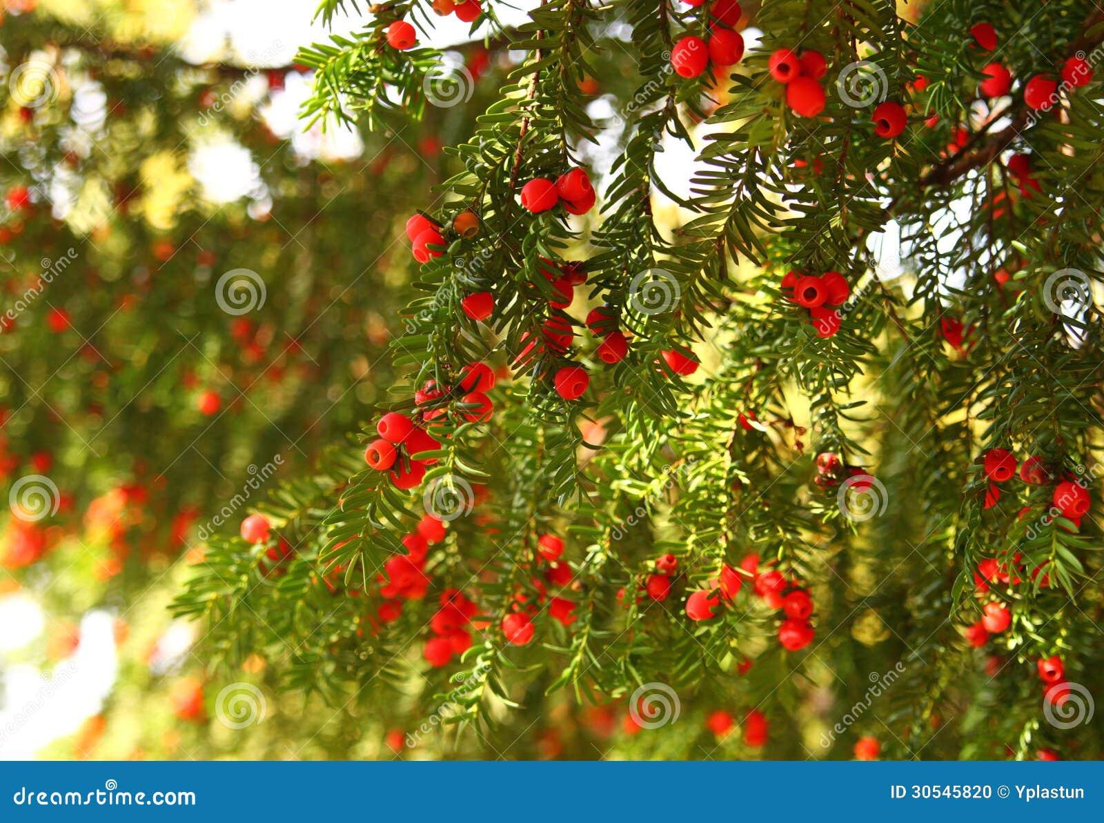 Albero Con Bacche Rosse albero sempreverde con le bacche rosse fotografia stock