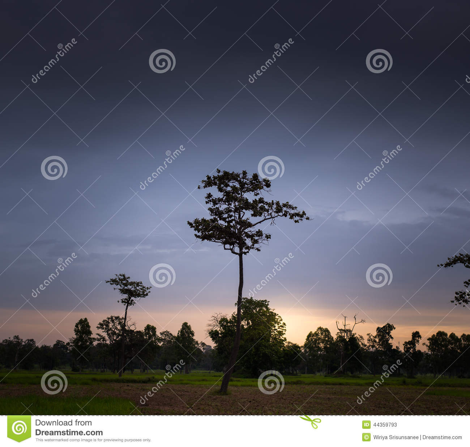 Albero solo sul campo all alba