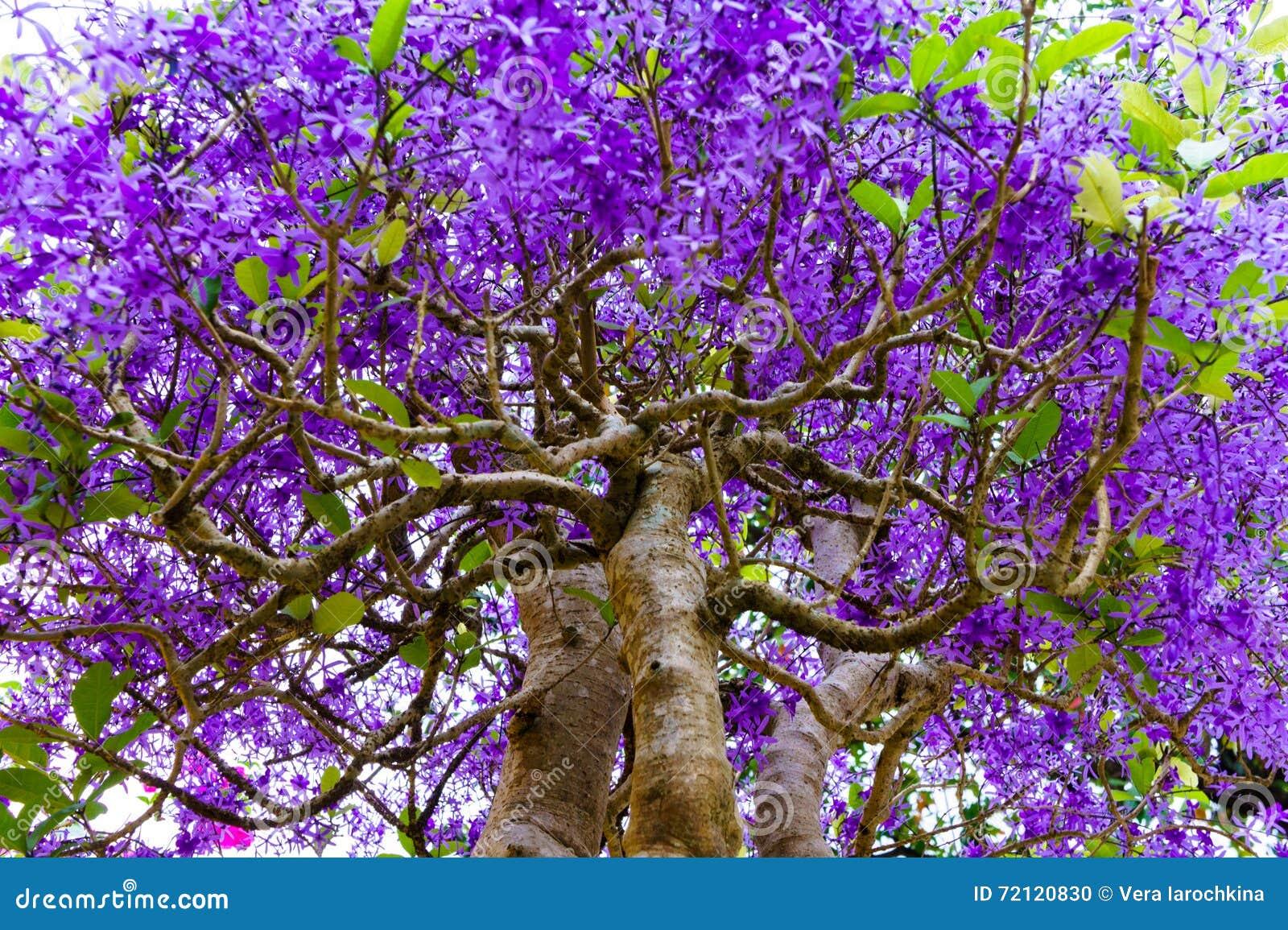 Albero tropicale con i fiori porpora fotografia stock for Albero con fiori blu
