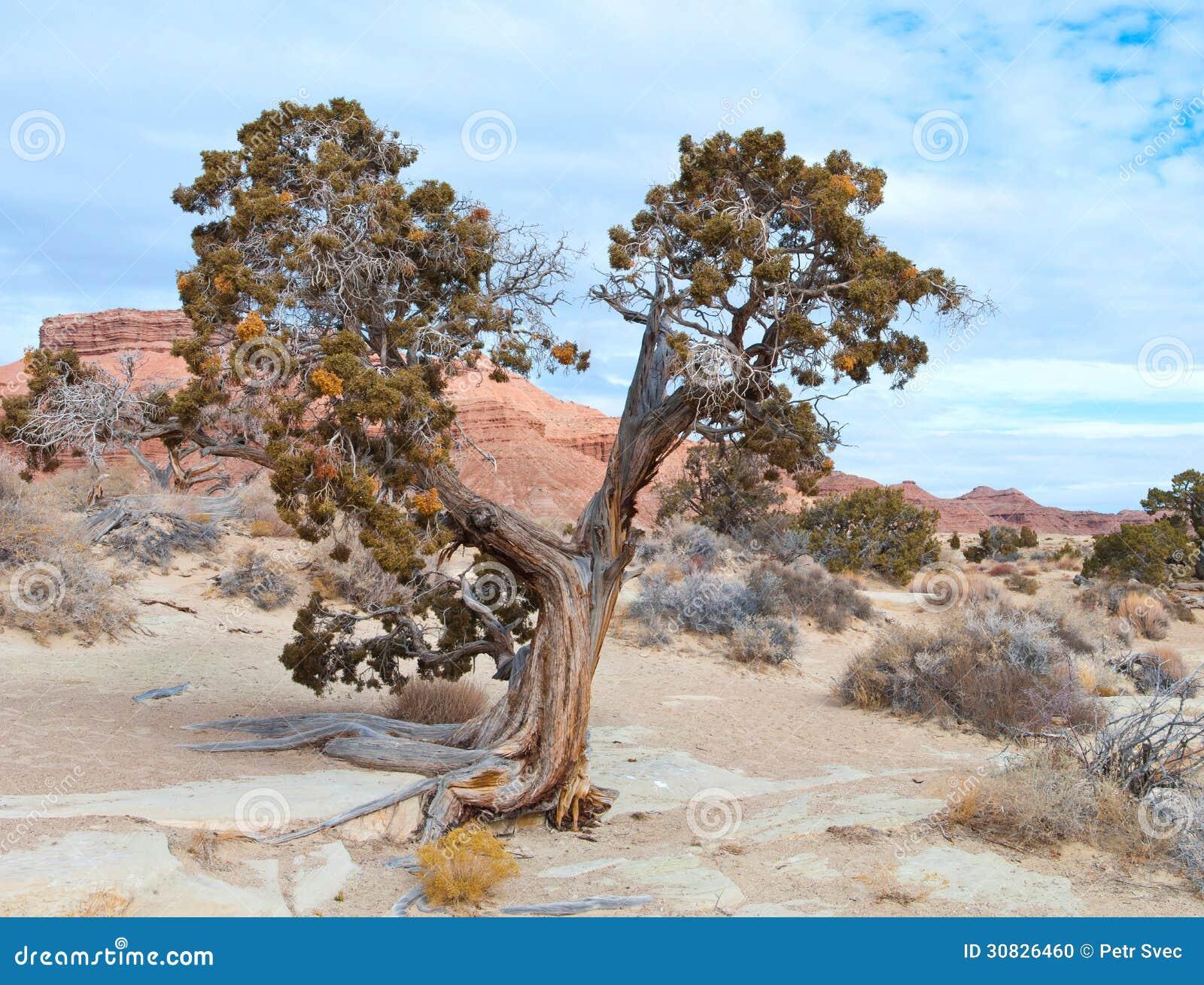 Albero in un deserto