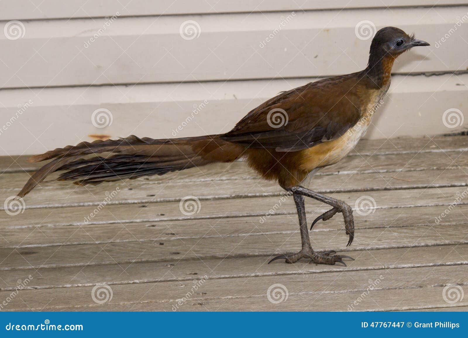 Albert Lyrebird