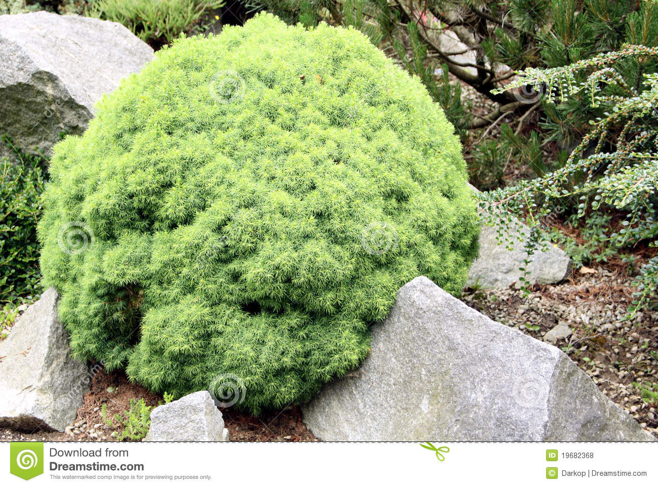 Alberta globe evergreen coniferous royalty free stock for Small slow growing evergreen trees