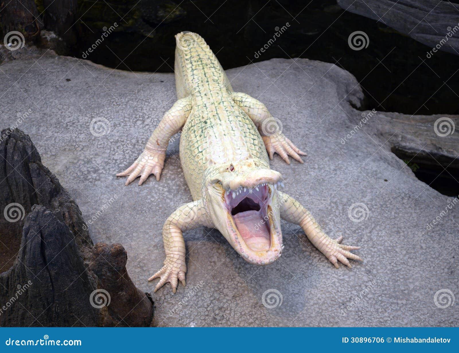 Albino Alligator Royalty Free Stock Image Image 30896706