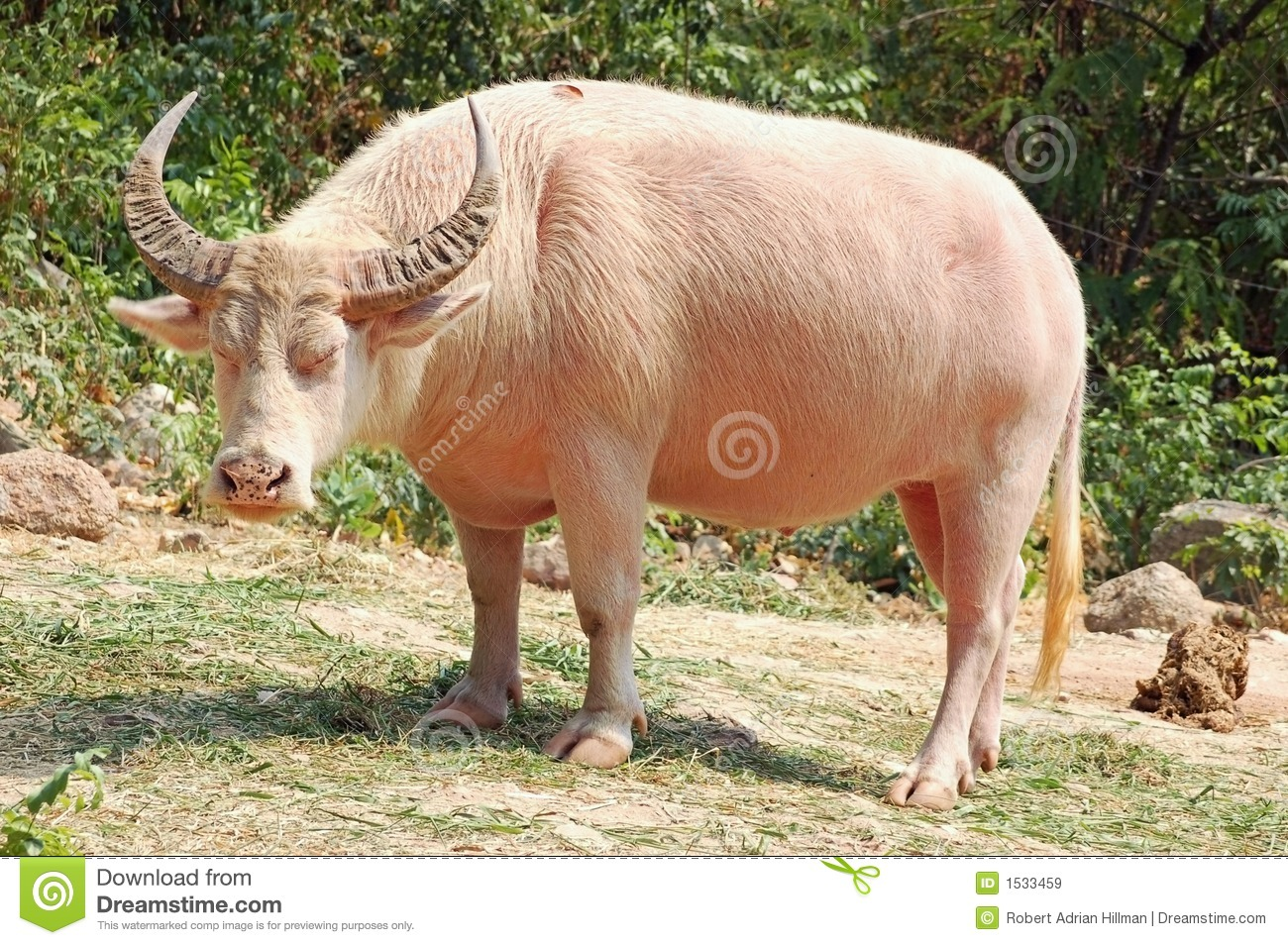 albino buffalo royalty free stock images