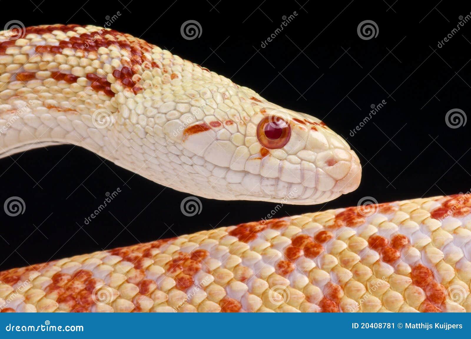 Albino Bullsnake Stock Image - Image: 20408781