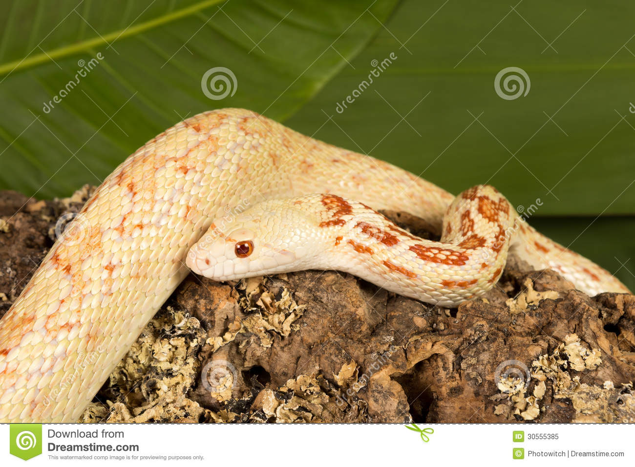 Albino Bullsnake Royalty Free Stock Photo - Image: 30555385