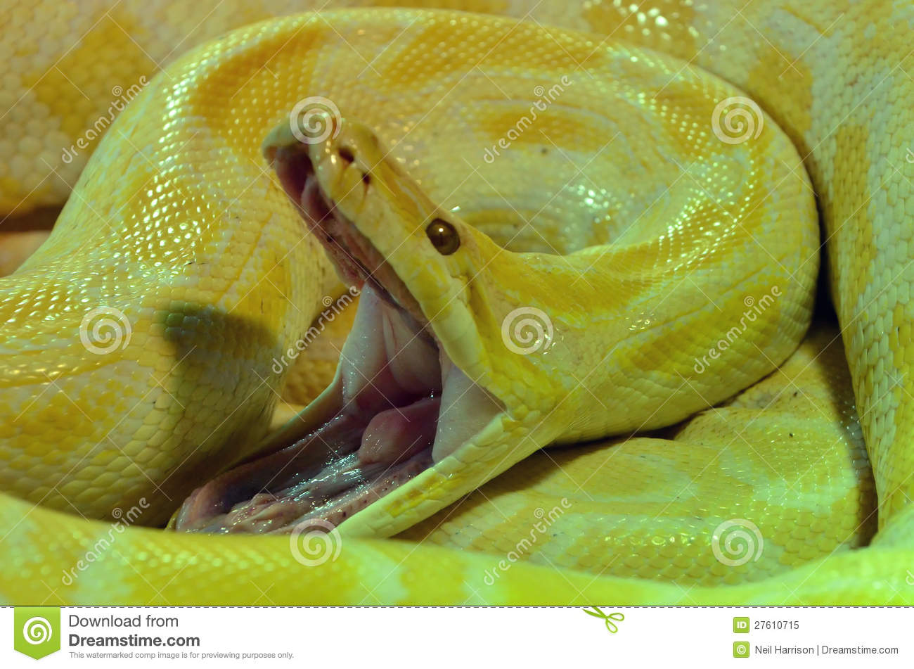 Albino Burmese Python Royalty Free Stock Photo - Image ...