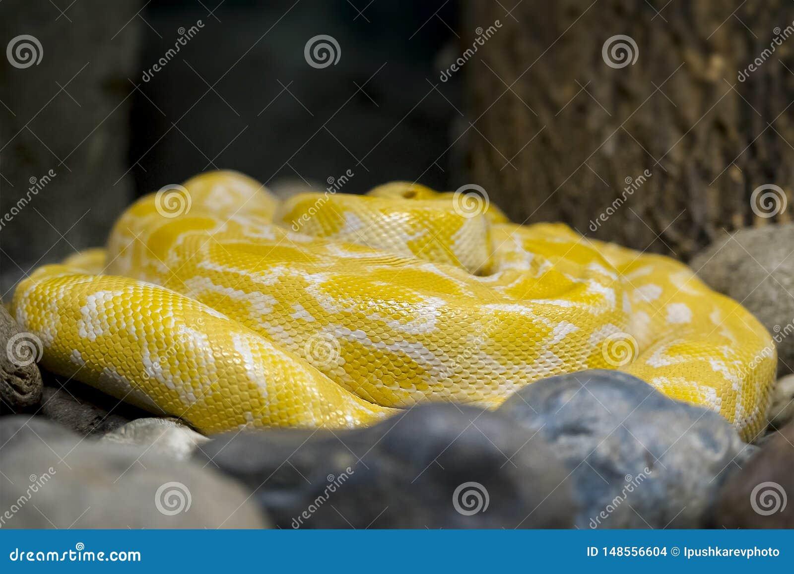 Albino Burmese Python Python molurus bivittatus. Golden yellow snake lying on ground