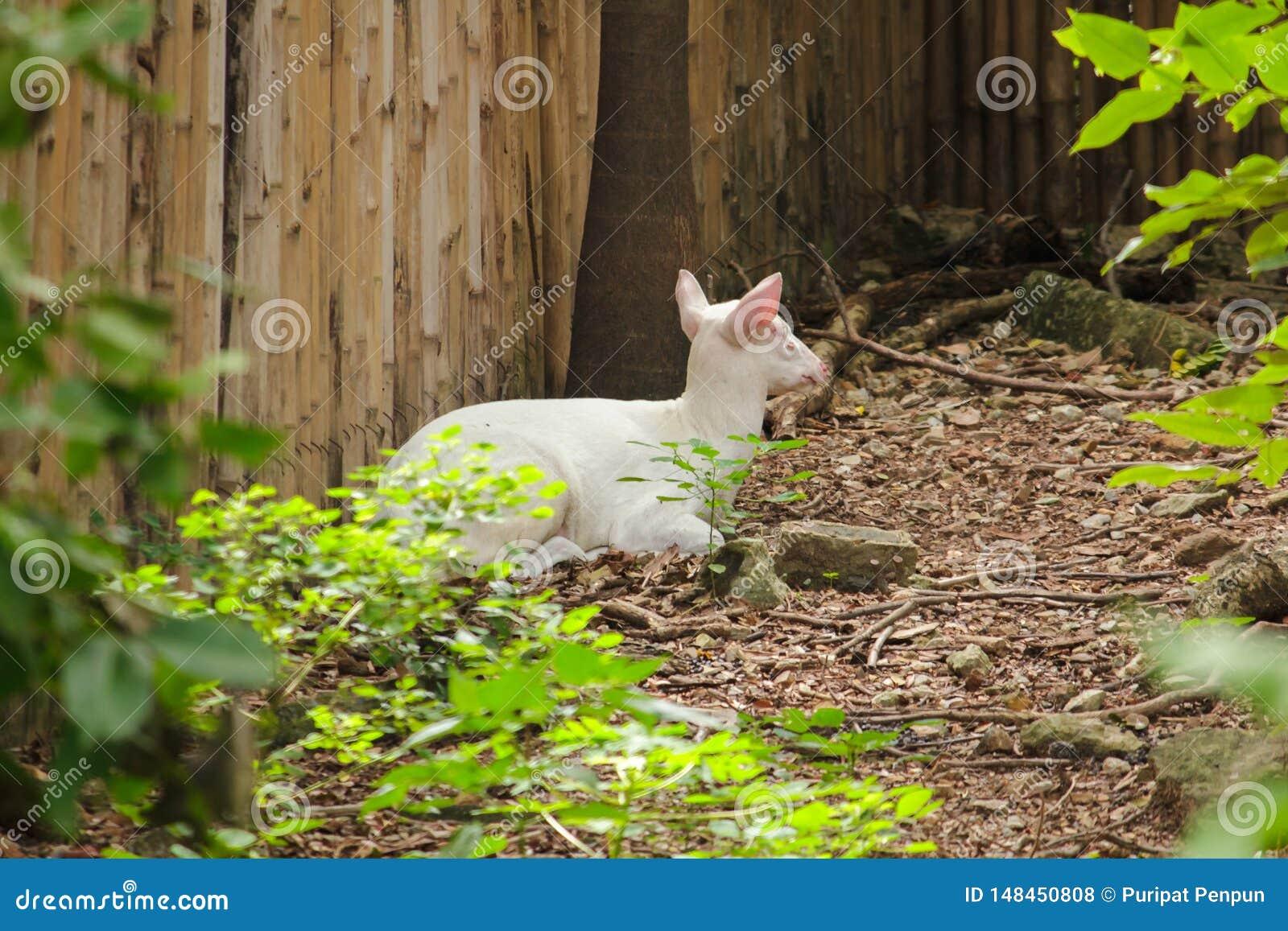 Albino Common Barking Deer is als een gewoon hert,