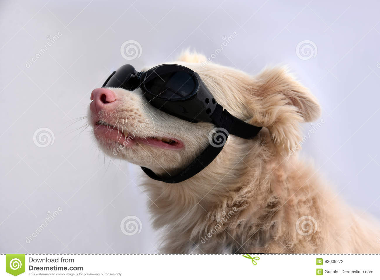 Albino Dog With Sunglasses Stock Photography ...