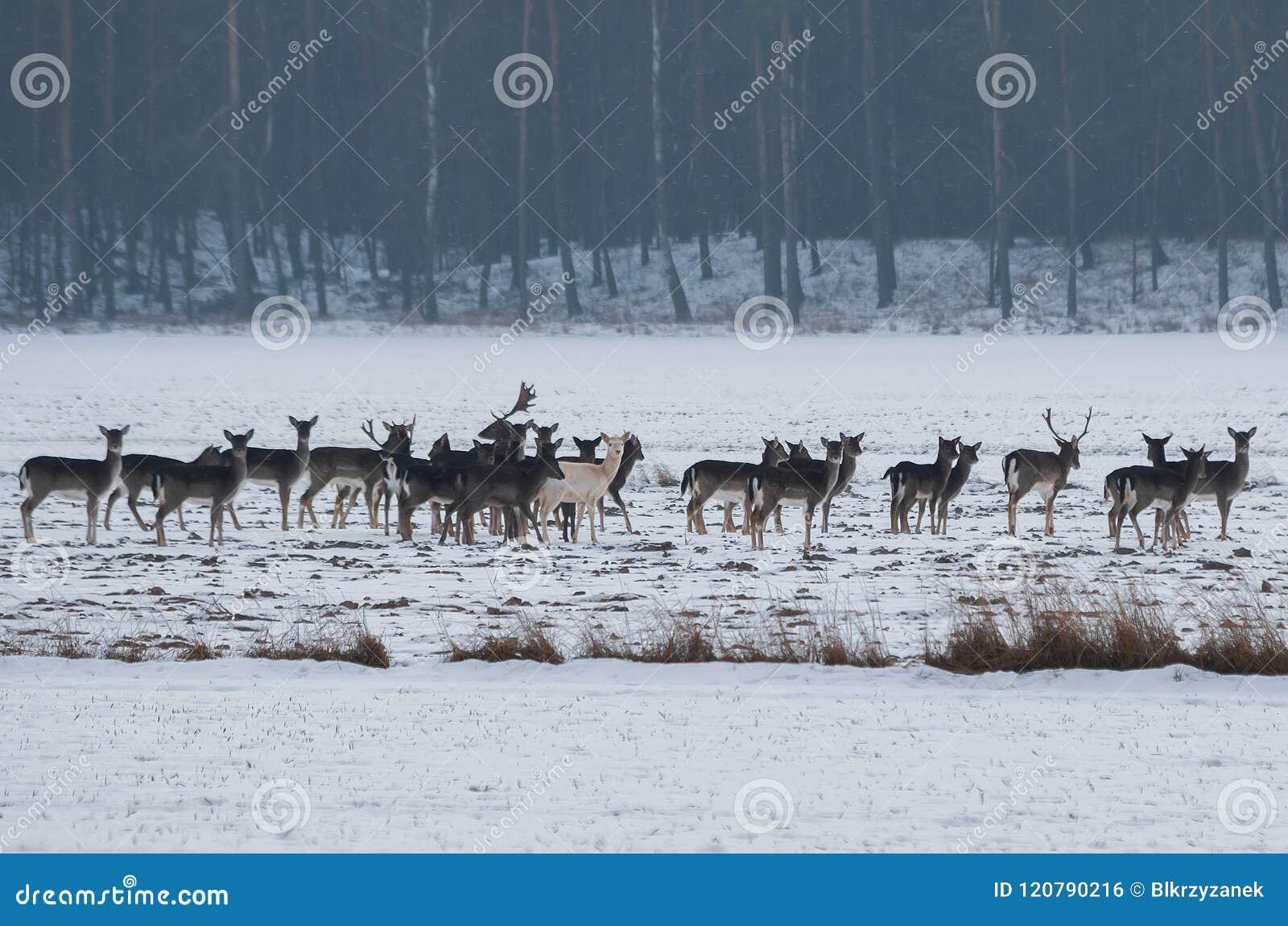 An albino fallow deer in a herd on snow
