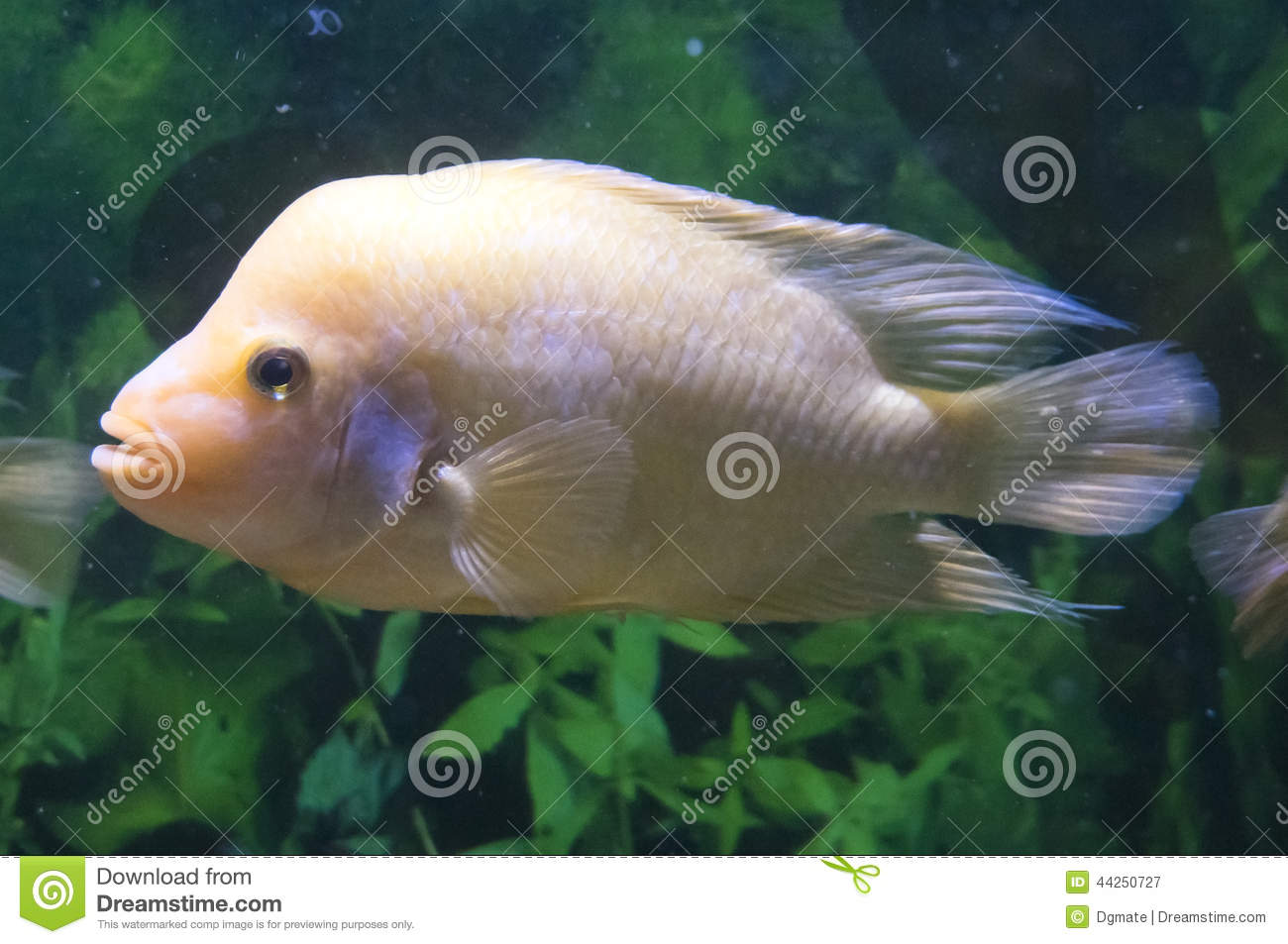 Albino flower horn fish stock photo image 44250727 for Flower horn fish price