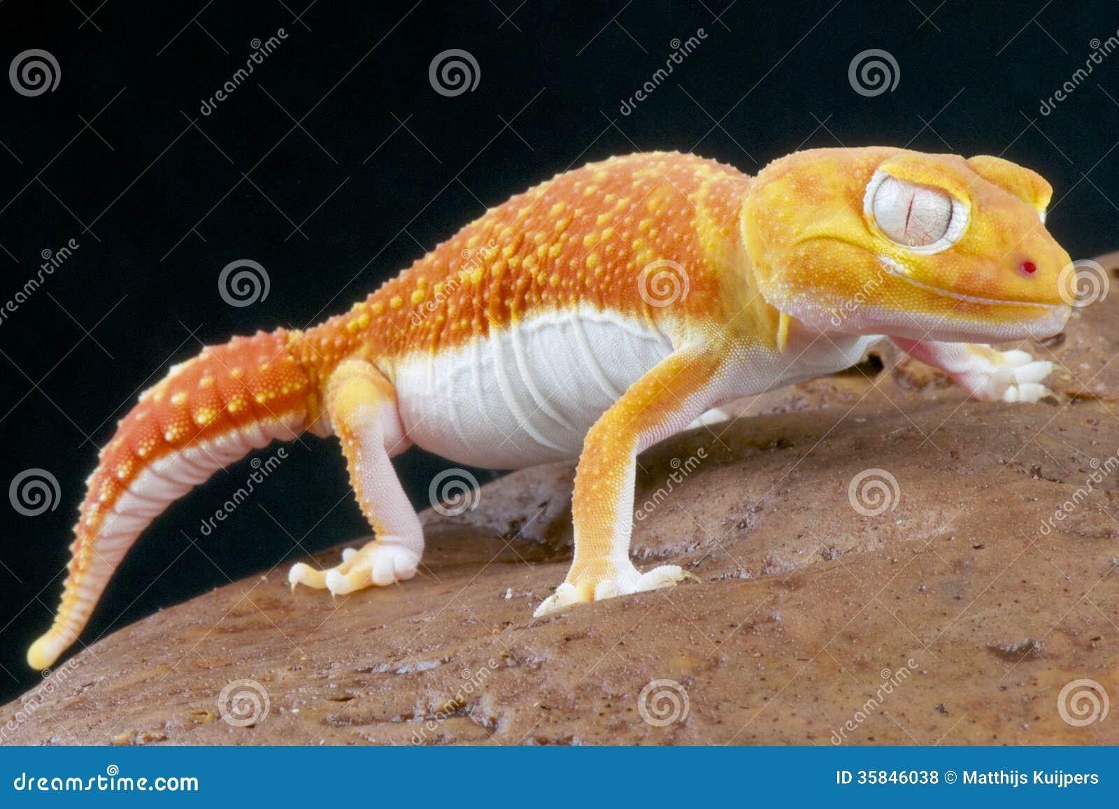 Albino Gecko Nephrurus Levis Pilbarensis Royalty Free