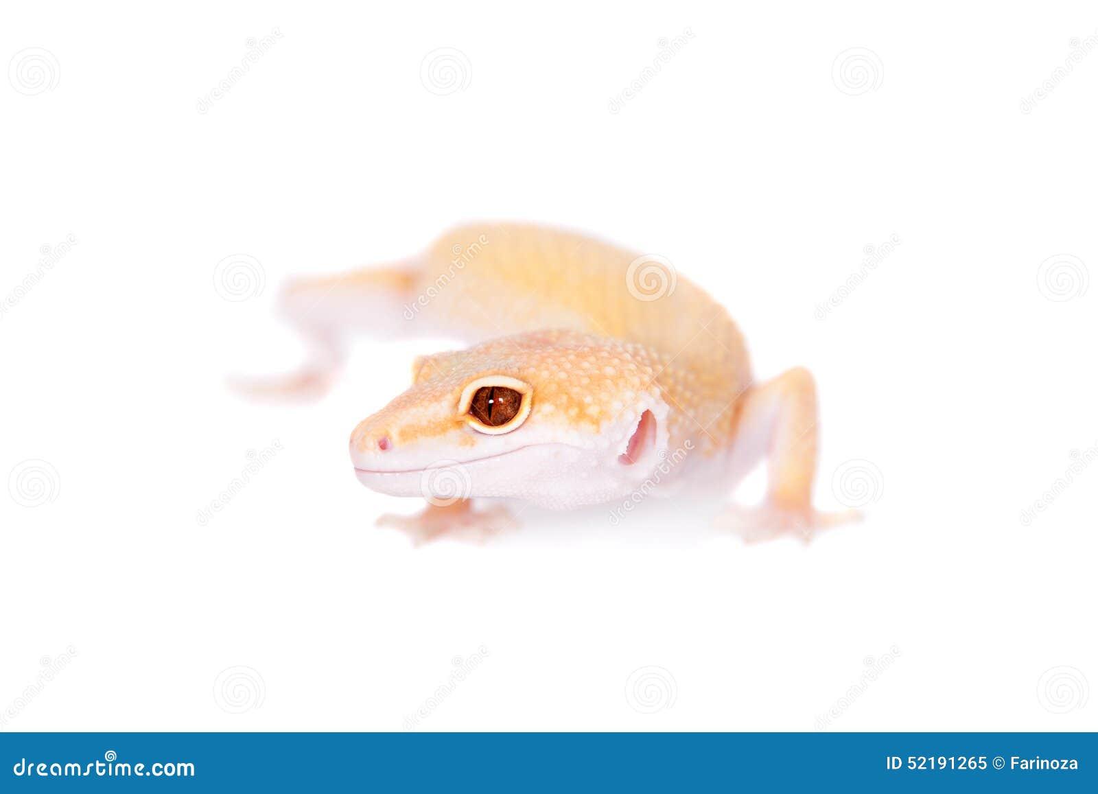 Albino Leopard Gecko op een witte achtergrond