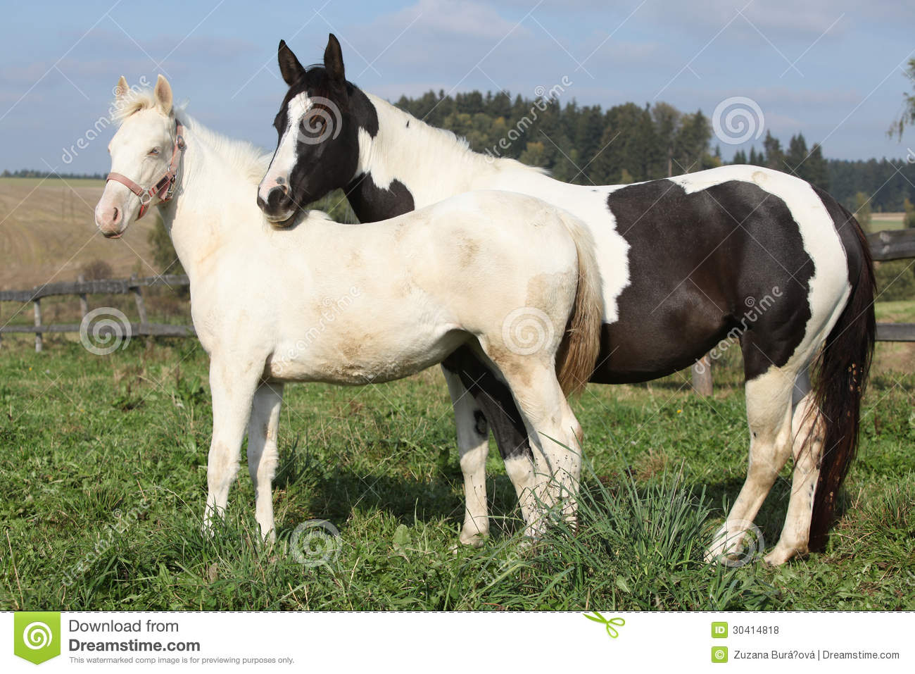 Albino And Paint Horse Together Stock Photo Image Of